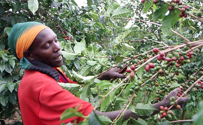 caféier du Burundi