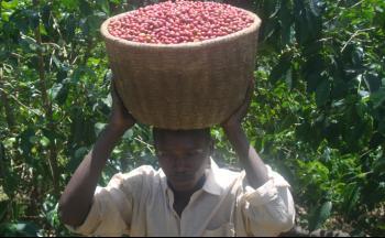 Cueillette du café du Rwanda