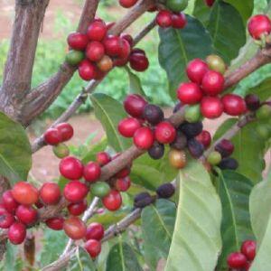 Caf� du Mexique Altura bio